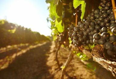 Rows of vines bearing fruit in vineyard with bright sunlight. Focus on black grapes hanging on vines.