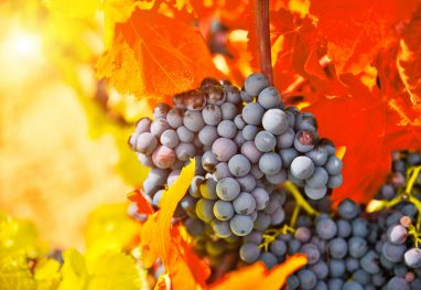 Bunch of grapes with red leaves in autumn. Autumn vineyard.