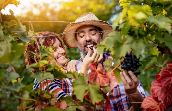 Beautiful smiling couple cutting grapes at a vineyard. They are tasting black sweet grapes and having fun. Copy space.