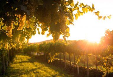 vineyards-at-sunset-buphm8f